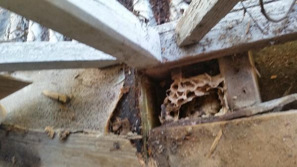 Nid de frelon sous un plancher secteur<br /> 27170.