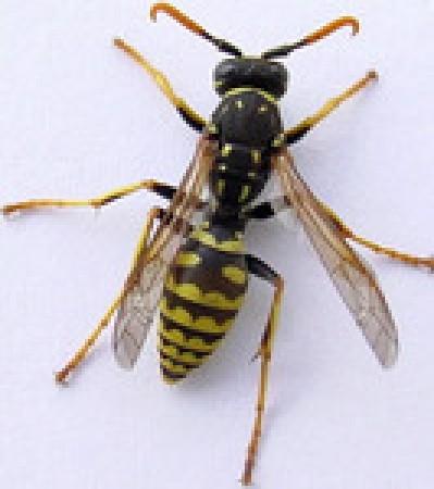 guêpe! attention insecte dangereux, malgré sa petite taille, cet insecte peut provoquer Œdème de Quincke, urgence vitale.